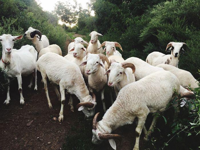 Sheep against plants
