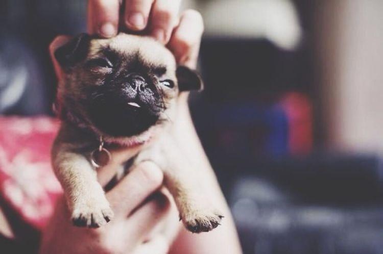 Puuuug ❤️❤️❤️❤️❤️❤️❤️❤️❤️?????????? Pug Dog Lovely Cute Pretty Follow4follow