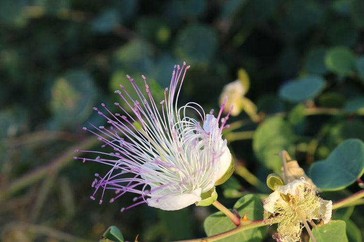 Cyprus Caper Flower Caper Flowering Plant Plant Flower Fragility Vulnerability  Growth Freshness Beauty In Nature Close-up Petal Flower Head Focus On Foreground Inflorescence Nature No People Day Pollen Plant Part Leaf Outdoors