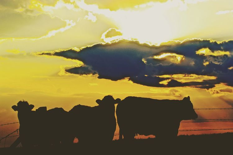 Sky Clouds Cows Herd Herd Of Cows Silhouettes Animals Animal Silhouette Rural Rural Scenes Sky_collection Cloud_collection  No People Cloud - Sky Clouds And Sky Sky And Clouds The Great Outdoors - 2016 EyeEm Awards EyeEm Nature Lover Hills