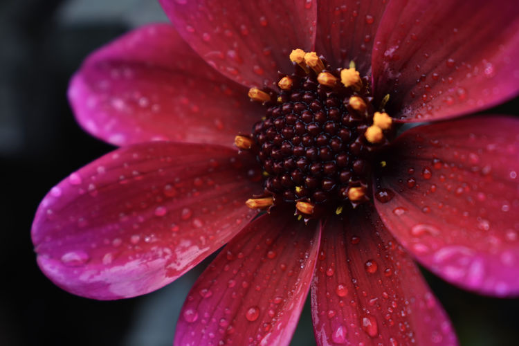Red Daisy closeup Daisy Daisy Flower Beauty In Nature Blooming Close-up Day Drop Flower Flower Head Flowers, Nature And Beauty Fragility Freshness Growth Nature No People Outdoors Petal Plant Pollen Red Red Flower Water Wet