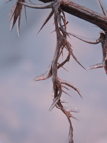 Beauty In Nature Branch Close-up Day Dried Plant Hanging Ice Covered  Nature No People Outdoors Sky