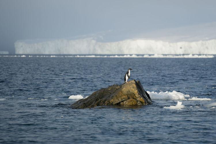 Adélie penguin  in front of a glacier at madder cliffs, joinville island. antarctica.