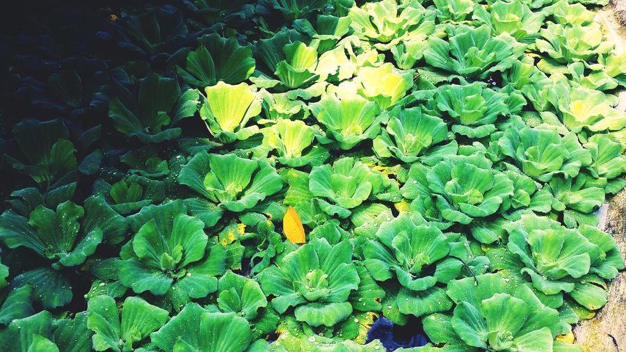 Lotus Lotus Flower Lotus Pond Lotus Leaf Lotus Garden Lotus Seedpod Green Green Leaves