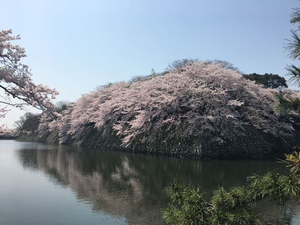 Cherry Blossoms Clear Sky Day Hikone Castle Moat Spring Stone Wall Tree