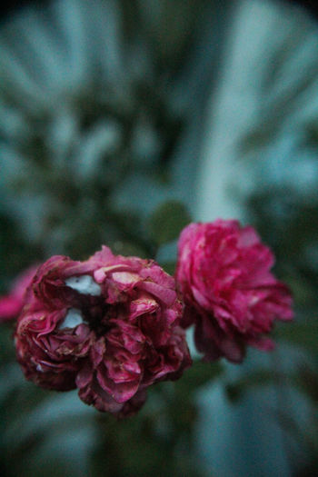 Grandpa's work Beauty In Nature Blooming Close-up Day Flower Flower Head Fragility Freshness Growth Nature No People Outdoors Petal Pink Color The Week On EyeEm