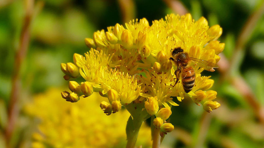 Honey Bee. So rare to see them these days. It's a gift to photograph them. Flowers,Plants & Garden Bees Beauty In Nature
