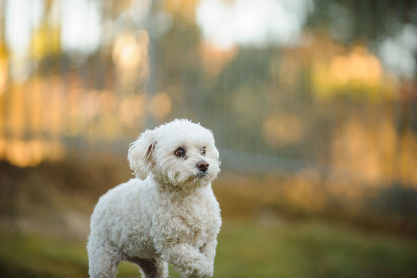 Bichon Mix Breed dog Animal Themes Bichon Close-up Day Dog Domestic Animals Focus On Foreground Mammal Mix Breed Mixed Breed Nature No People One Animal Outdoors Pets Portrait
