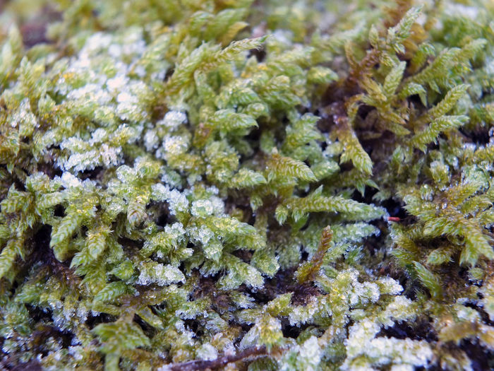 frost on moss close up Frost Backgrounds Close-up Day Full Frame Green Color Growth Indoors  Lichen Moss Mossstitch Nature No People