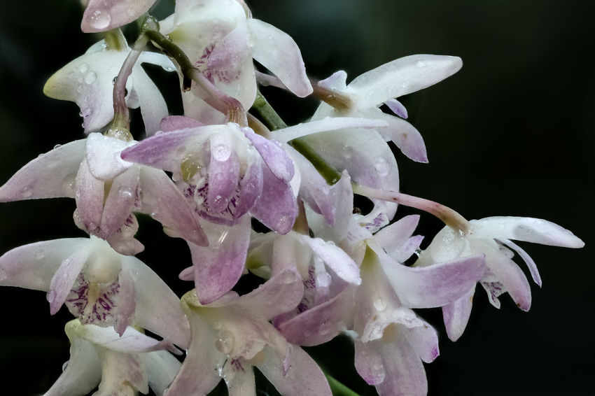 Dendrobium-Orchidee Dendrobiinae Dendrobium Dendrobium-Orchidee Epidendroideae Orchid Orchid Blossoms Orchids Beauty In Nature Dendrobium Phalaenopsis Dendrobiumorchid Flower Flower Head Flowering Plant Fragility Freshness Growth Nature Orchid Flower Orchidee Plant Purple