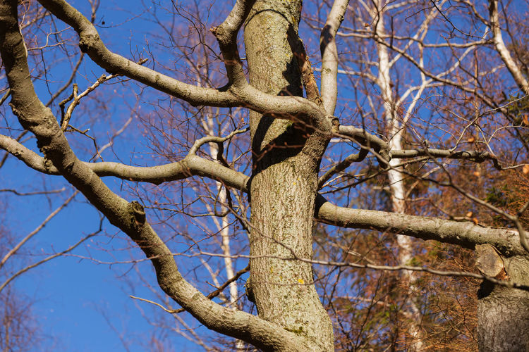 knobby tree Branch Tree Bare Tree Plant Low Angle View Sky Nature No People Day Tranquility Blue Clear Sky Tree Trunk Trunk Outdoors Beauty In Nature Sunlight Growth Scenics - Nature Twig Knobby Knobby Tree
