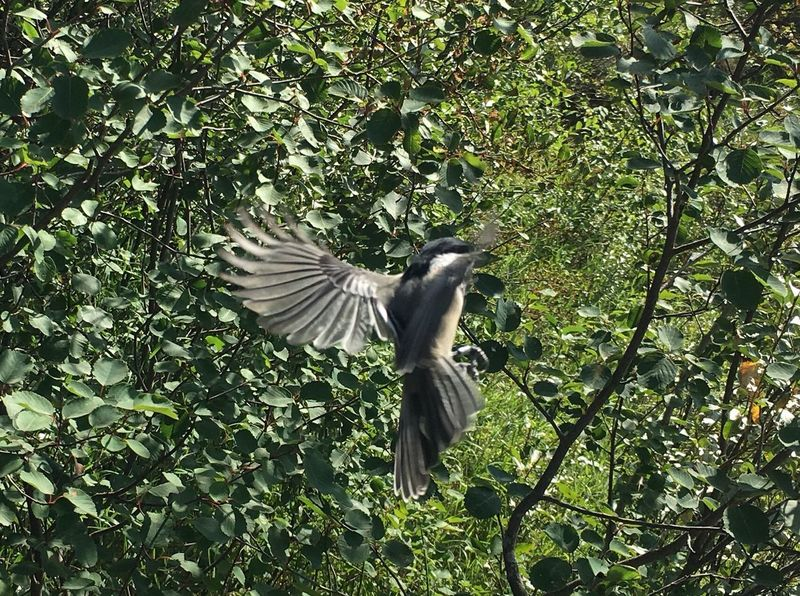 Animal Themes Animal Wildlife Animals In The Wild Beauty In Nature Bird Branch Chickadee Day Flying Green Color Growth Leaf Low Angle View Mid-air Nature No People One Animal Outdoors Spread Wings Tree