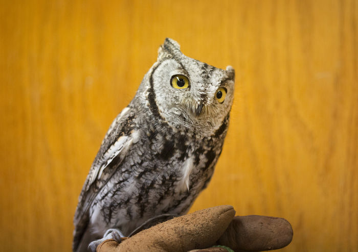 Western Screech Owl Screech Owl Bird Bird Photography Animal Animal Themes Wildlife Glove Captive Animals Injured Bird Portrait Owl Bird Of Prey Yellow Background Perching