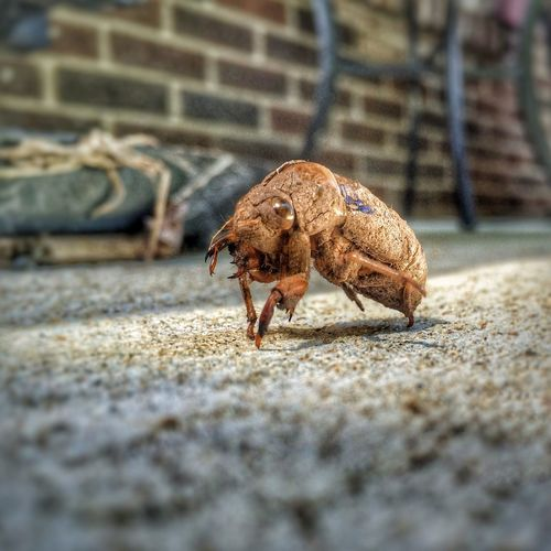Reanimated ✨🙀 Summer Memories 🌄 One Animal Animal Themes Animals In The Wild Animal Wildlife Close-up No People Outdoors Day Nature Cicada Insect Creepy