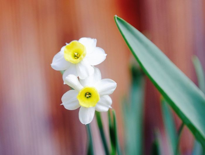 Analog Lens Flowering Plant Fragility Beauty In Nature White Color Focus On Foreground Nature Daffodil Growth Petal Plant Yellow Freshness