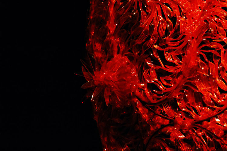 Red Close-up Studio Shot No People Black Background Copy Space Nature Beauty In Nature Indoors  Flower Flowering Plant Flower Head Chili Pepper Red Chili Pepper Freshness Petal Inflorescence Vibrant Color Fragility Pattern