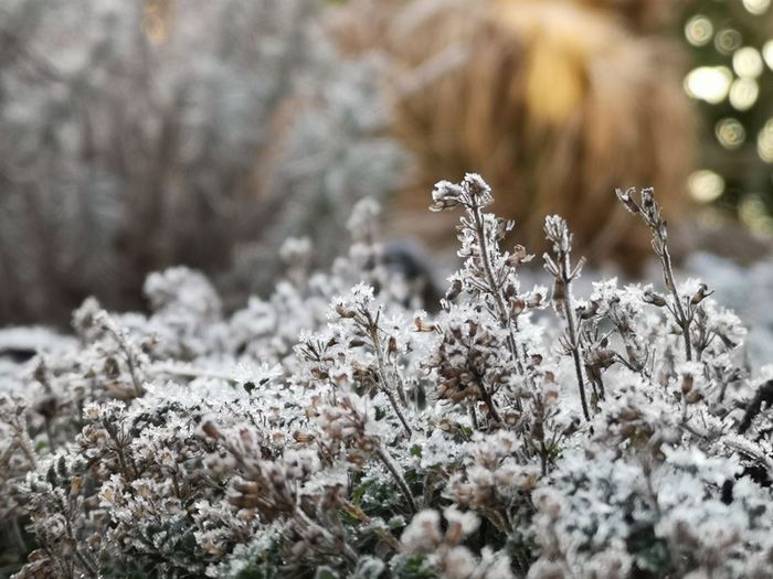 ▫️Iced Thyme▫️ Thyme Thyme Plant Thymus EyeEm Best Shots EyeEm Nature Lover EyeEm Selects EyeEm Gallery Eye4photography  No Edit/no Filter Winter_collection Flower Cold Temperature Winter Frozen Close-up Ice Crystal Frost
