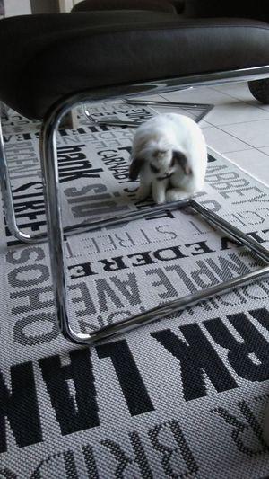Blackandwhite Bunny  Chair Indoors  Modern Rug Pet Rabbit