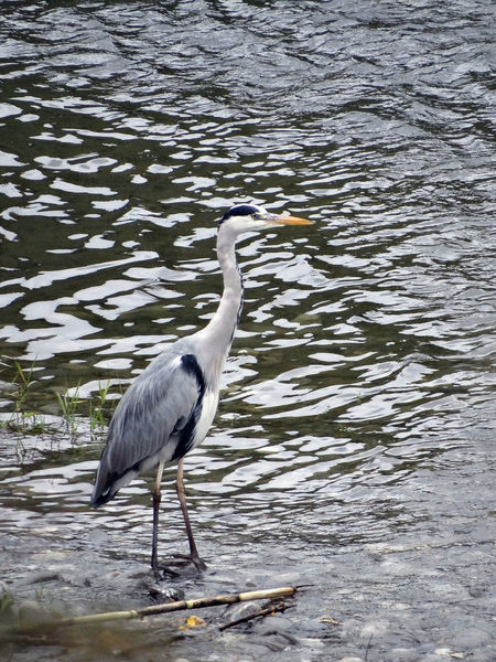 Ardea Cinerea - Serchio River Animal Themes Animal Wildlife Animals In The Wild Ardea Cinerea Bird Gray Heron Gray Heron In Winter Gray Heron On The River Shore Grey Heron In Winter Grey Heron On The River Shore Heron Heron Along The River Heron In Winter Outdoors Water