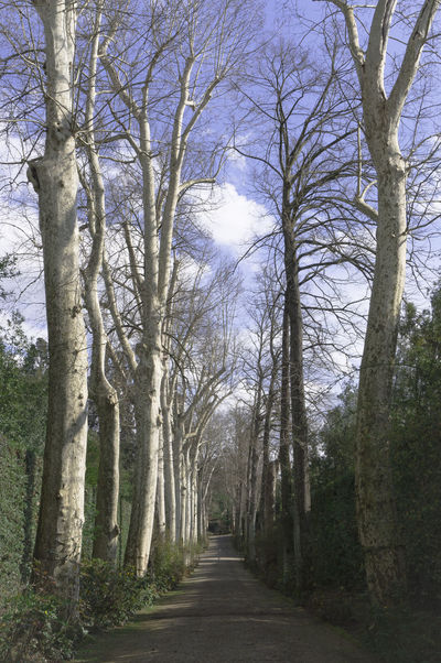 In A Row Peace And Quiet Beauty In Nature Day Diminishing Perspective Direction Forest Great Beauty Growth Nature No People Order Outdoors Pathway In The Forest Plant Road The Way Forward Tranquility Tree vanishing point