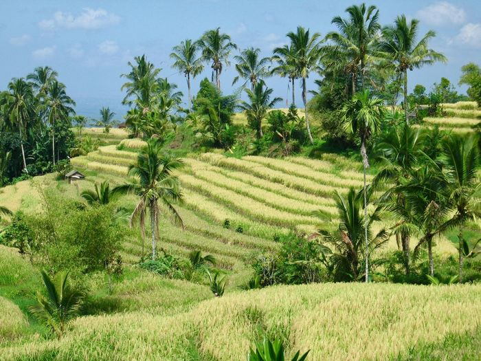 Field Growth Palm Tree Tree Nature Green Color Agriculture Tranquil Scene No People Scenics Landscape Rice Paddy Beauty In Nature Outdoors Tranquility Day Sky Plant Terraced Field