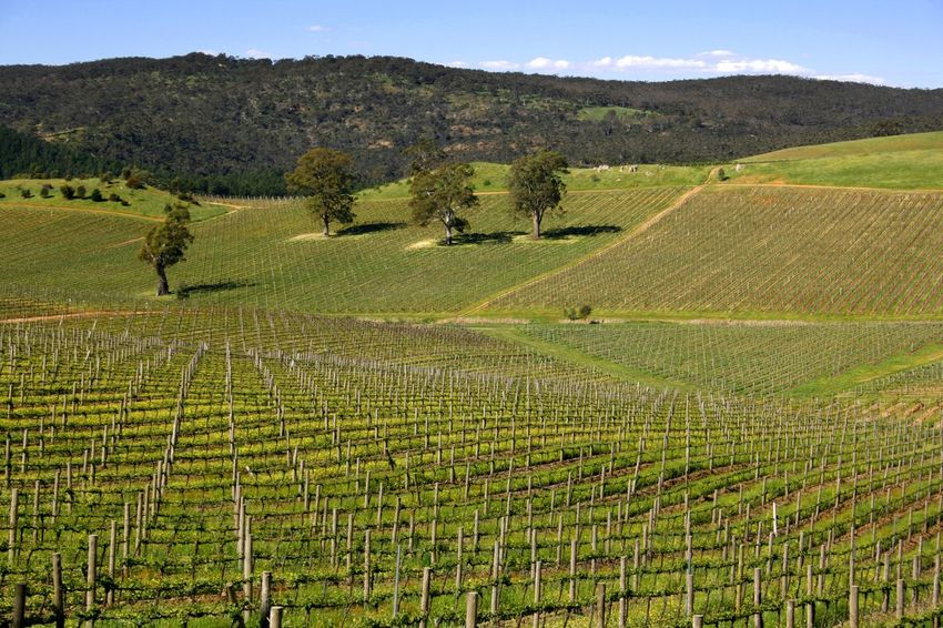 Springtime landscape in the Barossa Valley South Australia Barossa Valley Travel Photography Agriculture Beauty In Nature Crop  Day Farm Field Growth Hill Landscape Nature No People Outdoors Rural Scene Scenics Sky Springtime Tranquil Scene Tranquility Vineyard Vintage