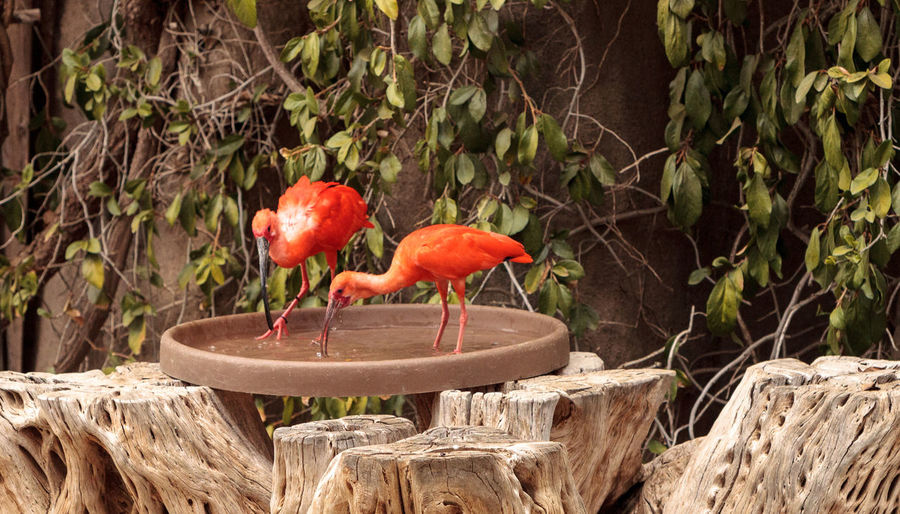 Scarlet ibis perching on bird bath against tree