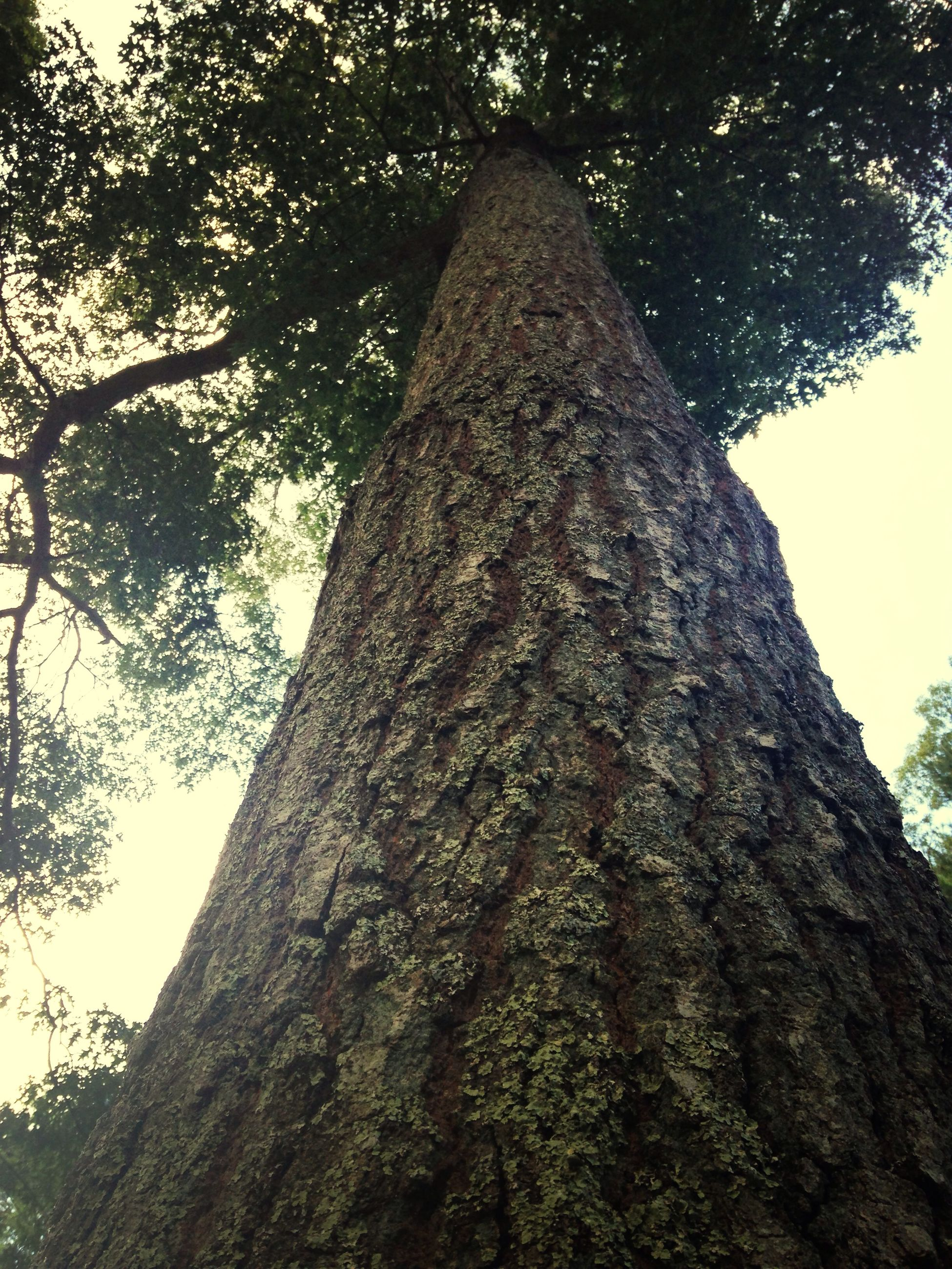 tree, low angle view, tree trunk, growth, sky, branch, tall - high, nature, textured, day, tranquility, bark, outdoors, forest, no people, tall, clear sky, sunlight, beauty in nature, close-up