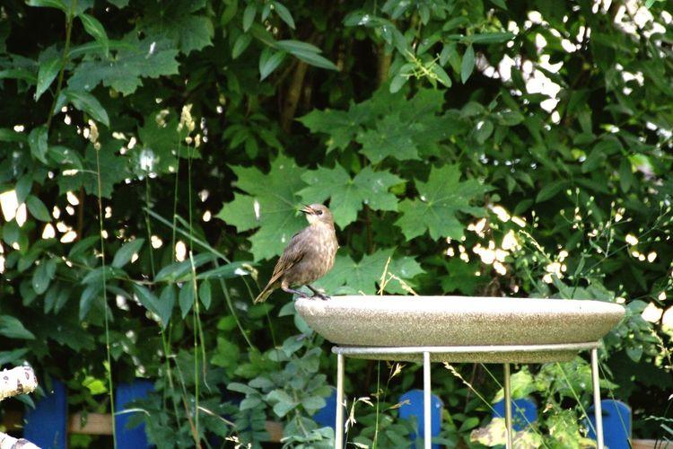 Wildvogel Vogeltränke Denk Vogeltränke Jungvogel Jugend Star Bird Vertebrate Animal Themes Animal Animal Wildlife Animals In The Wild Perching