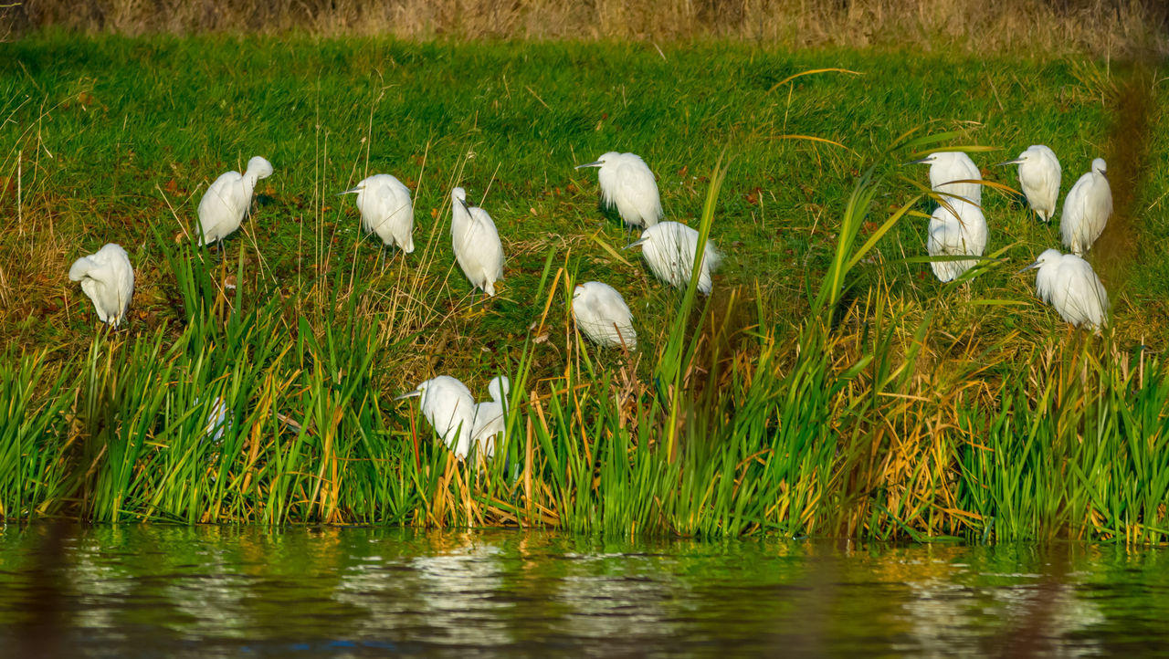 bird, animals in the wild, nature, flamingo, lake, white color, animal wildlife, animal themes, reflection, grass, water, no people, outdoors, day, beauty in nature, ibis, marsh, great egret, foraging