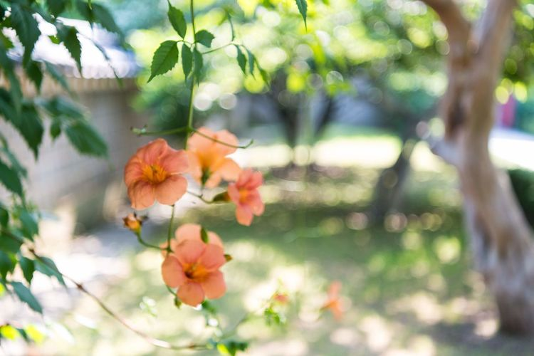 Flower Head Tree Flower Branch Springtime Leaf Beauty Summer Pink Color Close-up Day Lily Cherry Blossom Fruit Tree Cherry Tree Twig Pollen Stamen In Bloom Botany Apple Tree Orange Tree Lily Orchard Apple Blossom Plant Life Blossom Pistil