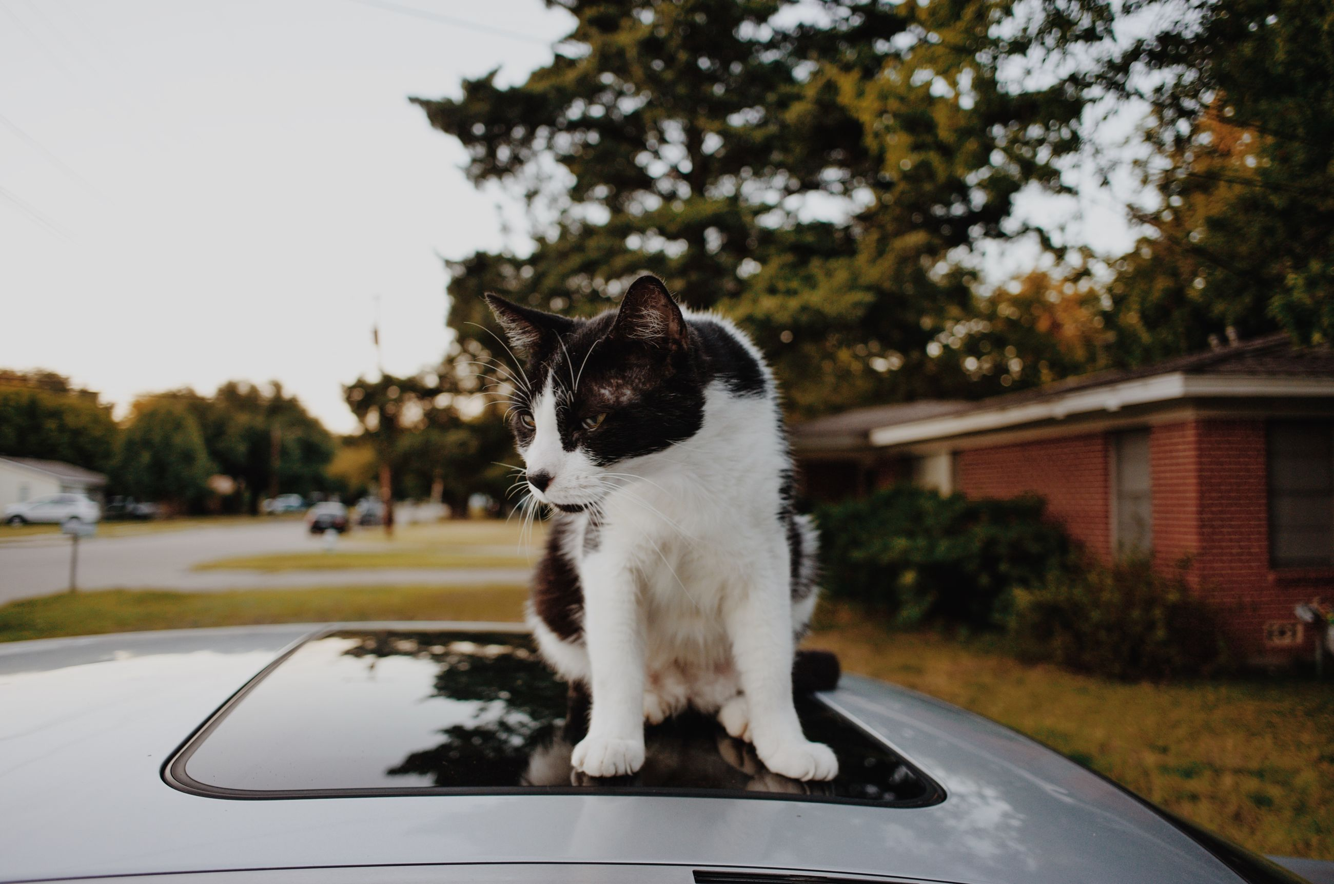 car, land vehicle, one animal, animal, motor vehicle, animal themes, mode of transportation, transportation, mammal, pets, cat, domestic, domestic animals, domestic cat, vertebrate, feline, focus on foreground, tree, plant, glass - material, no people, whisker