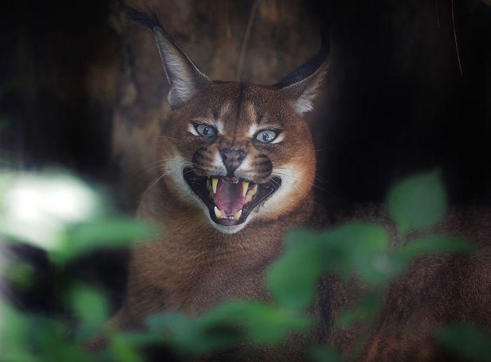 Close-up portrait of aggressive cat outdoors