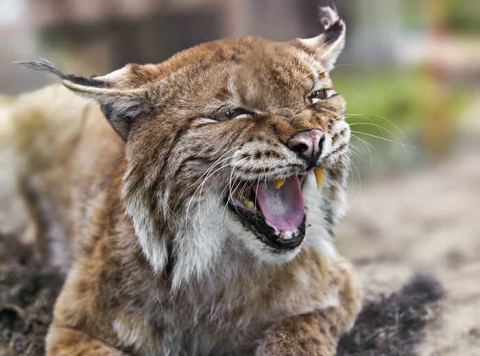 Animal Themes Animal Wildlife Animals In The Wild Close-up Day Focus On Foreground Lynx Mammal Nature No People One Animal Outdoors