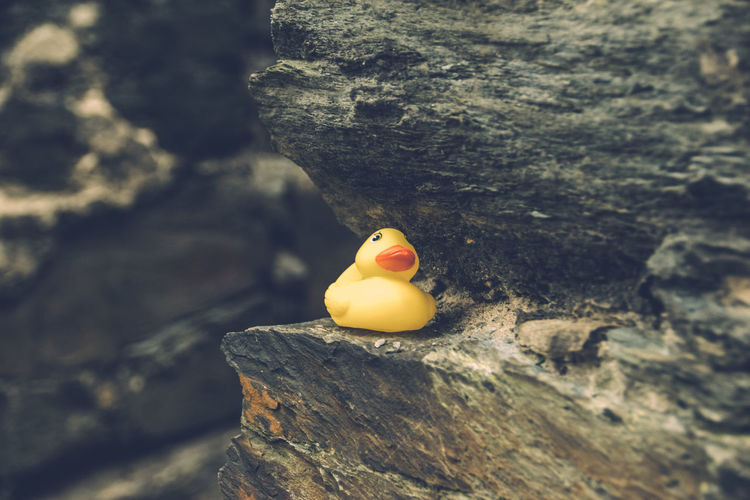 Close-up of rubber duck on rock