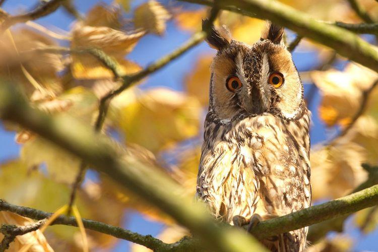 Portrait of long-eared owl on branch