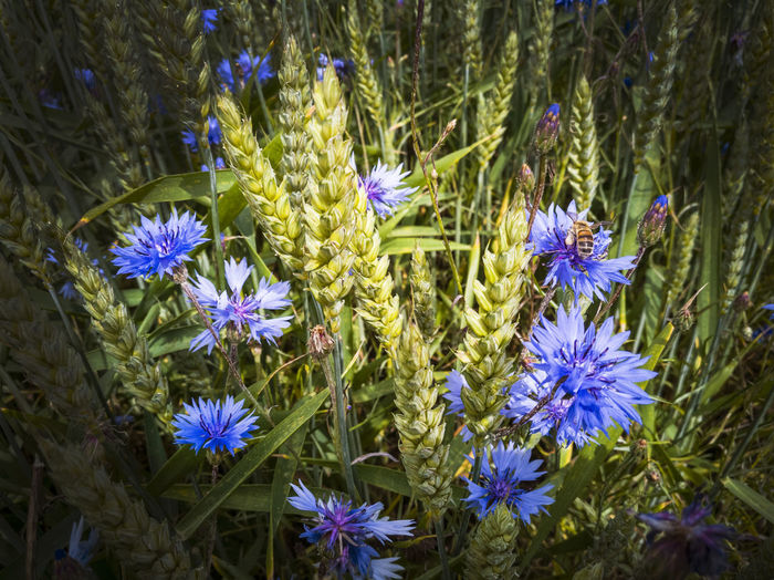 Agriculture Beauty In Nature Blooming Blue Close-up Corn Cornflower Crop  Day Field Field Flower Flower Head Fragility Freshness Growth Nature No People Outdoors Petal Plant Cereal