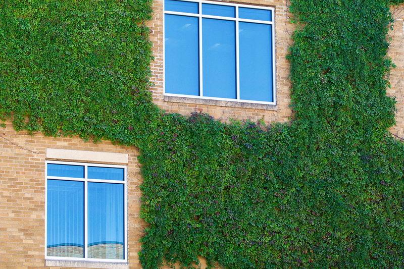 Ivy growing on house window