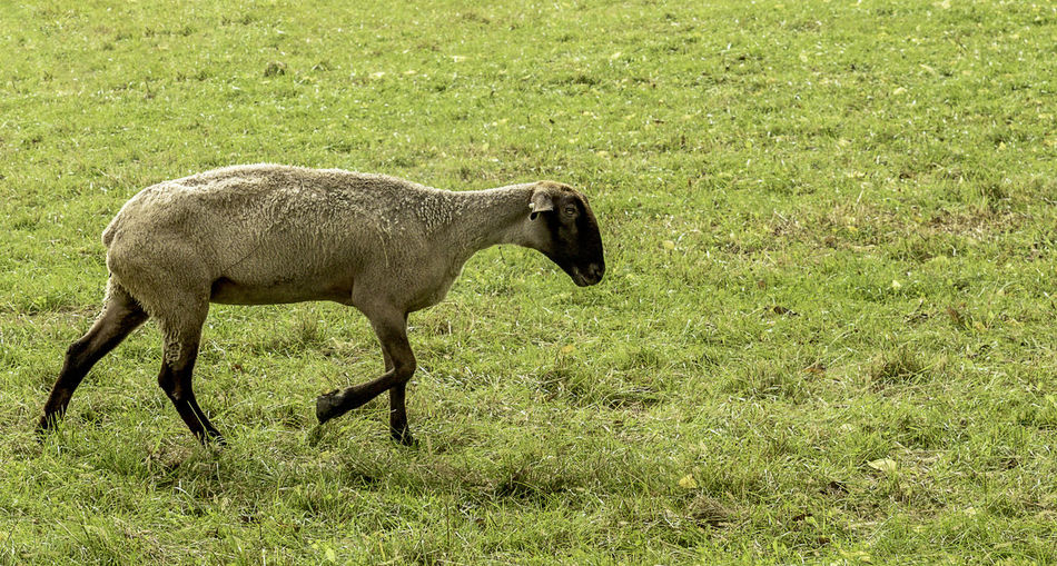 A Suffolk sheep strolling through the pasture. Bovidae Ovis Aries Animal Animal Themes Day Docile Domestic Domestic Animals Field Grass Green Color Herbivorous Land Livestock Mammal Nature No People One Animal Outdoors Quadrupedal Ruminant Sheep Side View Vertebrate Wool
