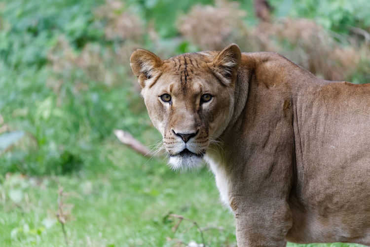 Side view portrait of lioness standing on field