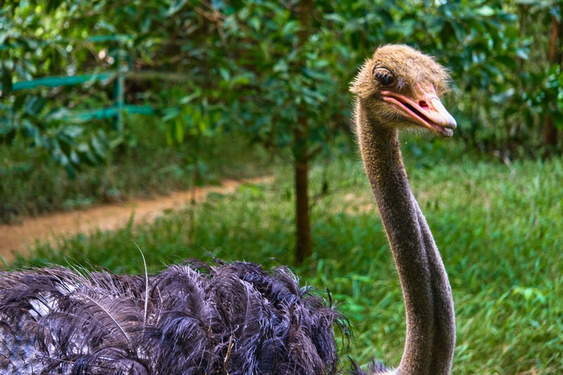 Close-up of ostrich outdoors