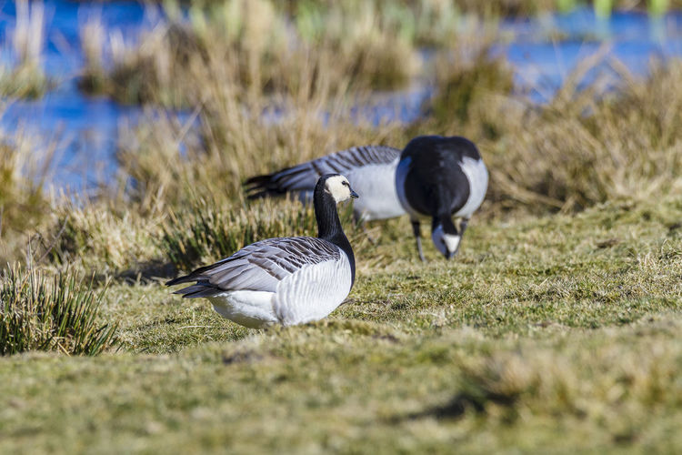 white-headed goose Animals In The Wild Animal Wildlife Bird Animal Themes Animal Vertebrate Group Of Animals Grass Plant Selective Focus Nature Day Flying No People Two Animals Field Land Goose Spread Wings Outdoors