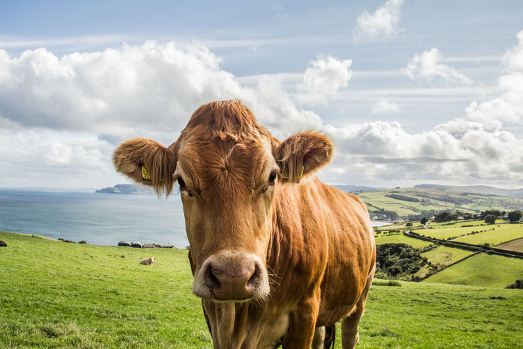 Portrait Of Cow With Livestock Tags Standing On Field Against Sky