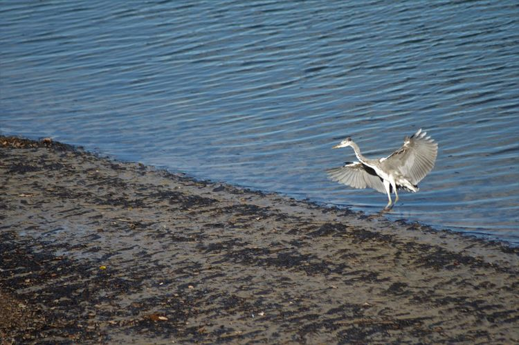 Herons on the Plym estuary in the Autum sunshine Capture The Moment Landing Serenity Animal Themes Animal Wildlife Animals In The Wild Beach Bird Feather  Fishing Flap Flying Heron In Flight Lake Motion Ocean One Animal River Sea Soaring Spread Wings Wading Water Water Bird
