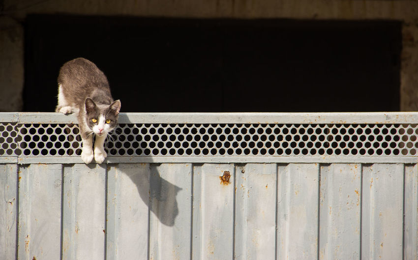 cat on the fence Animal Themes Animal One Animal Mammal Cat Vertebrate Domestic Animals Pets Domestic Looking At Camera No People Feline Portrait Domestic Cat Day Metal Wood - Material Animal Wildlife Outdoors Peeking Whisker Animal Head  My Best Photo