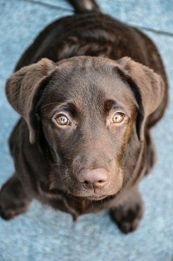 Odette Labrador Brown Lookingup