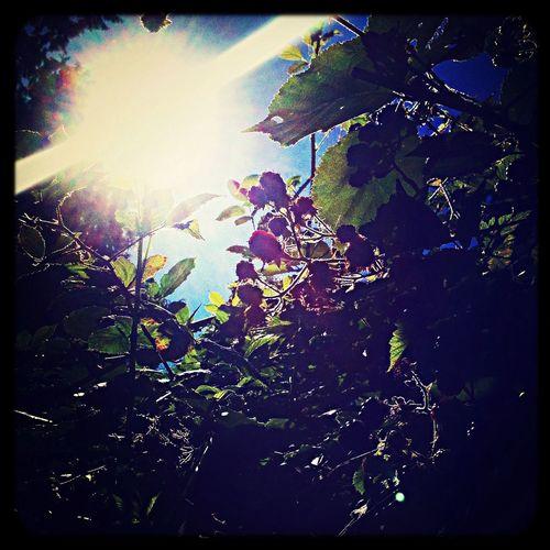Berries blackberries picking berries sunshine blue skies front yard Enjoying Life