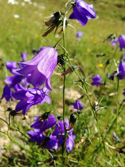 Purple Fragility Flower Beauty In Nature Plant Day Insect Switzerland
