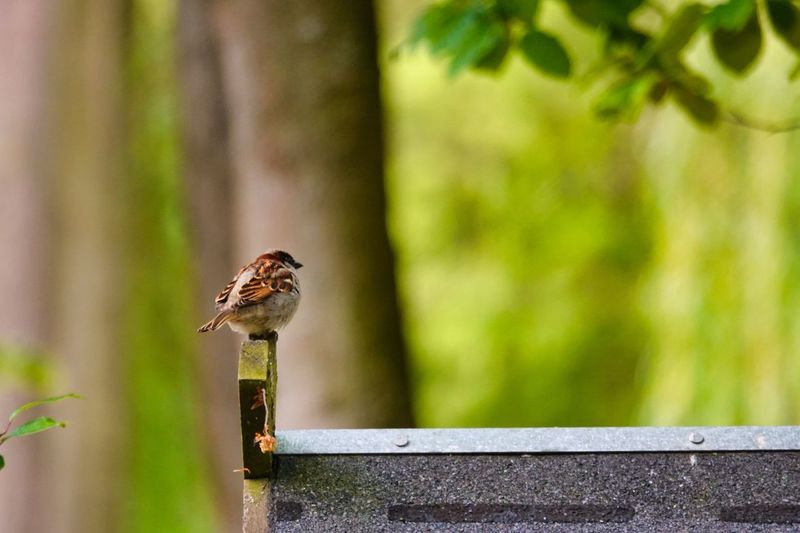 Sparrow Animal Animal Themes Animal Wildlife Animals In The Wild Vertebrate One Animal Focus On Foreground Day No People Bird Wood - Material Outdoors Boundary Nature Fence Green Color Close-up Barrier Reptile Perching