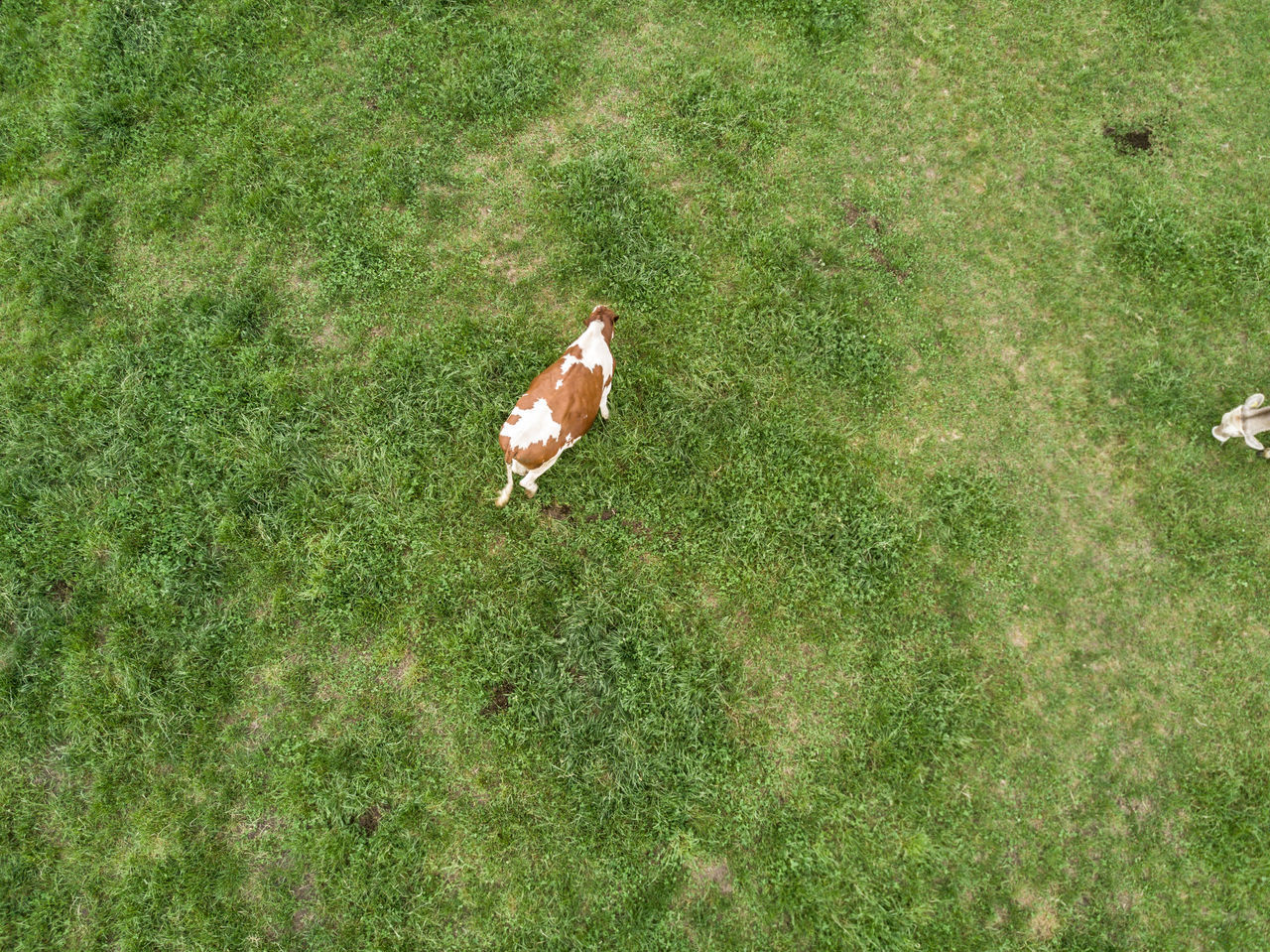 grass, animal themes, high angle view, one animal, field, nature, bird, green color, no people, day, domestic animals, growth, livestock, animals in the wild, outdoors, beauty in nature, mammal